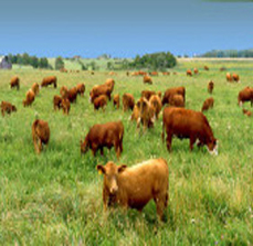 grass_fed_cattle